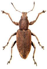Tanymecus palliatus 1.jpg