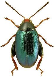 Psylliodes tricolor.jpg