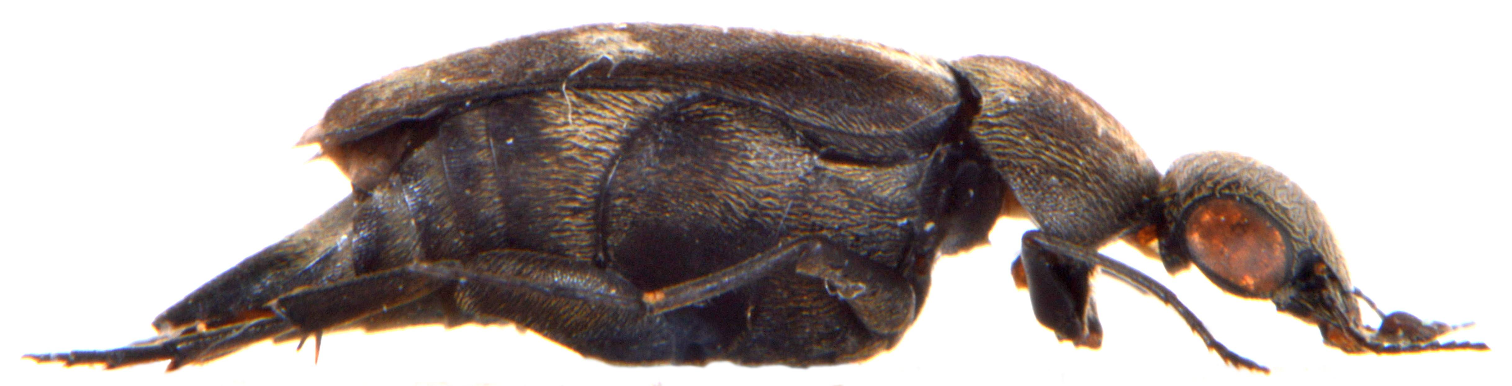 Tomoxia bucephala