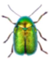 Cryptocephalus aureolus 1.jpg