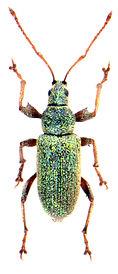 Phyllobius argentatus 1.jpg