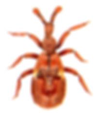 Claviger testaceus 2.jpg