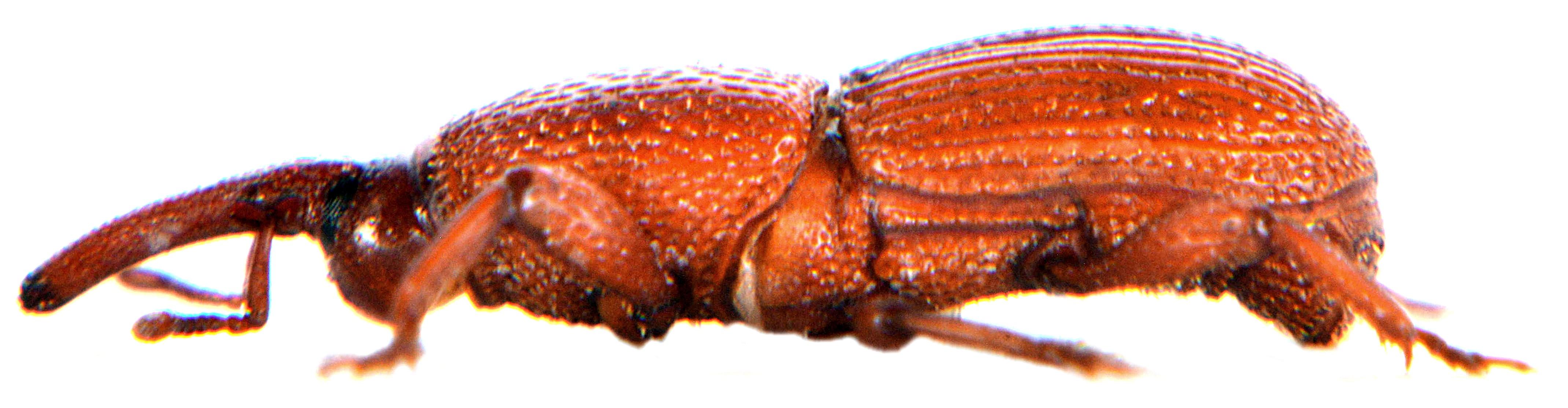 Sitophilus granarius 4