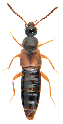 Atheta castanoptera 1