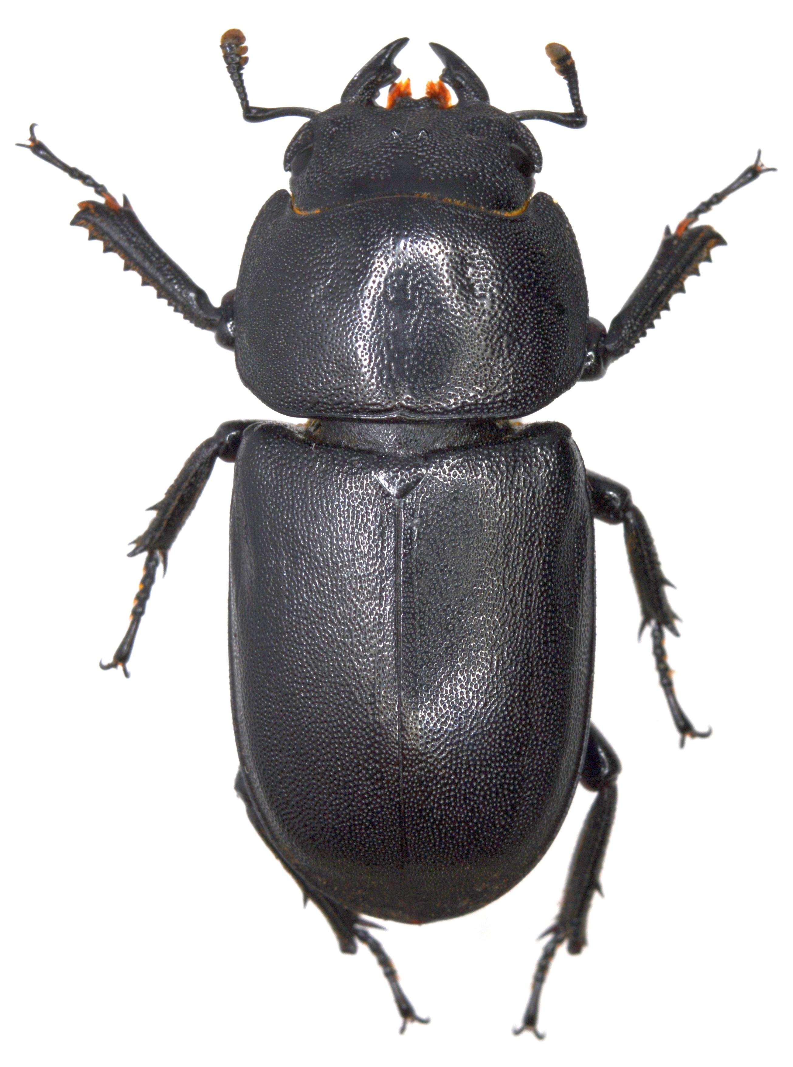 Dorcus parallelipipedus ♀