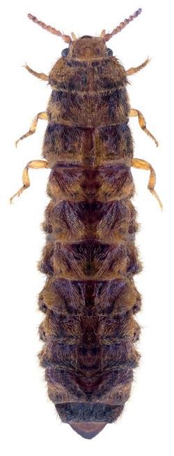 Drilus flavescens ♀