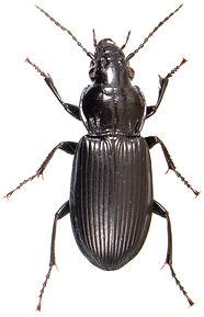 Pterostichus melanarius 1.jpg