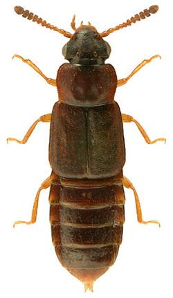 Phloeonomus pusillus 2