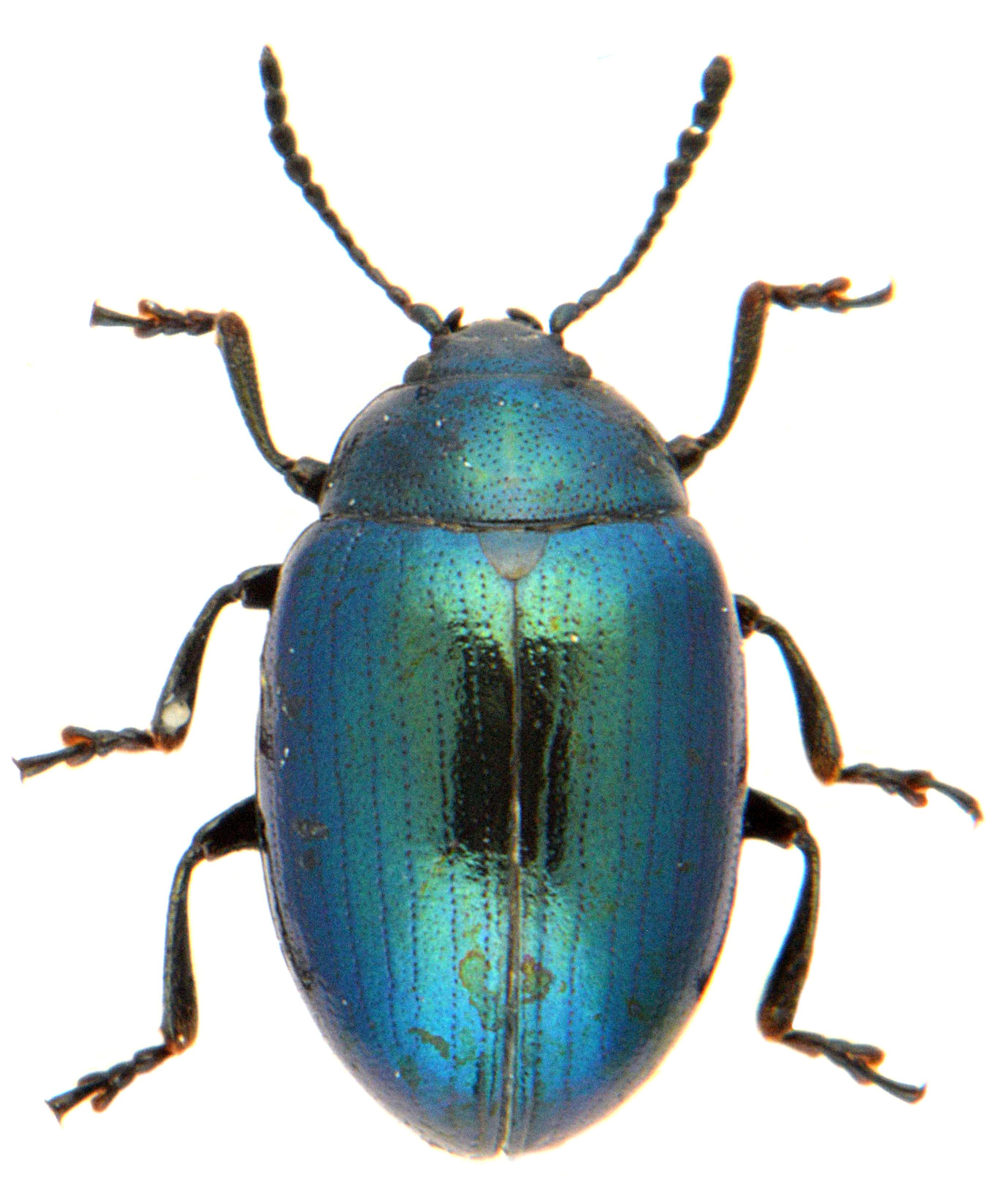 Phaedon cochlaeriae 2