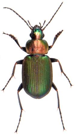 Chlaenius nigricornis 3