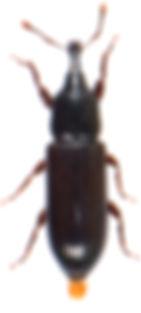 Cossonus parallelopipedus 2.jpg