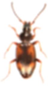 Bembidion femoratum.jpg