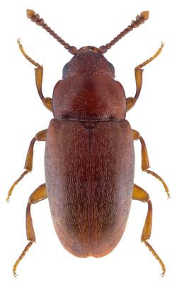 Antherophagus similis 2