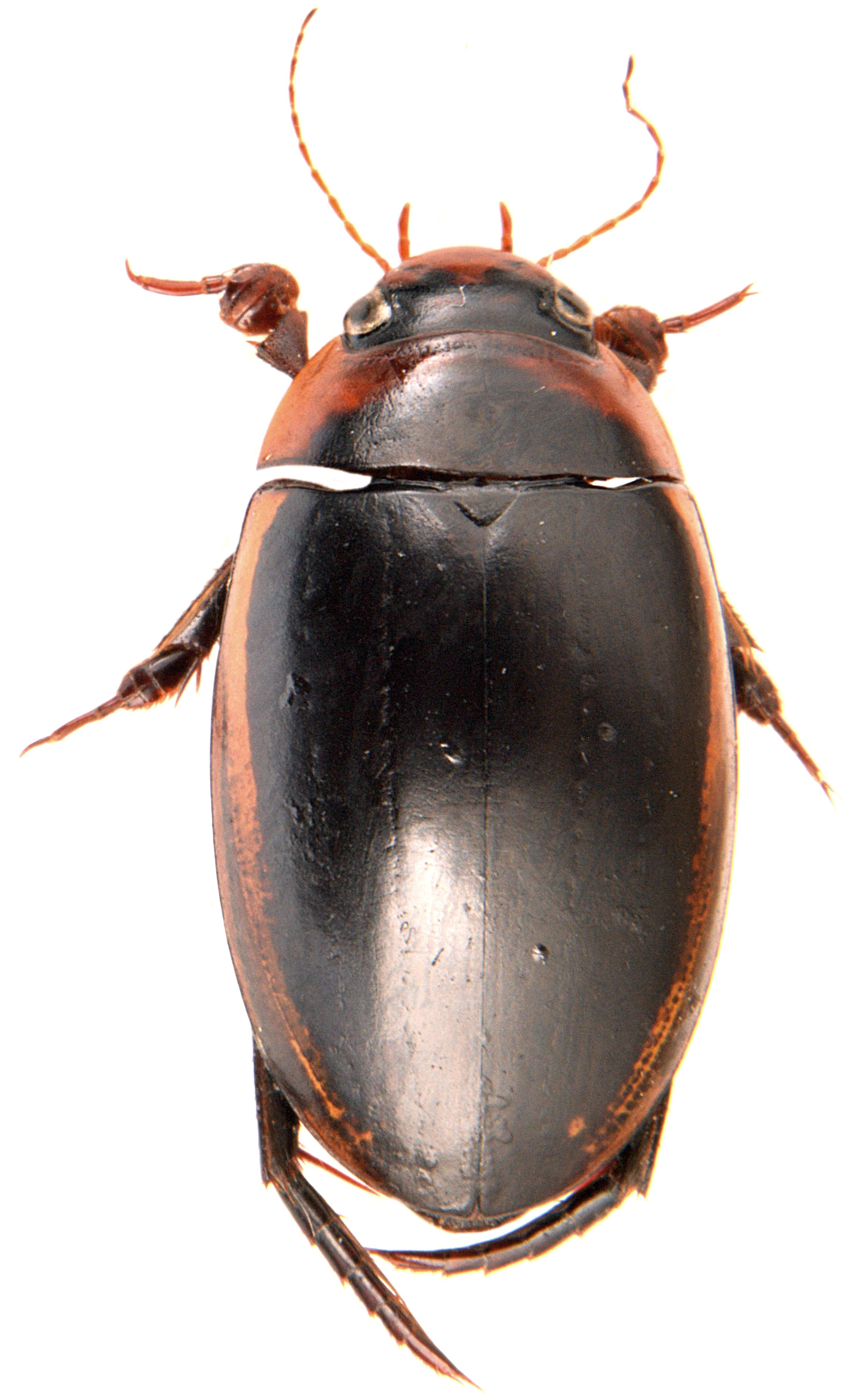 Hydaticus seminiger 1