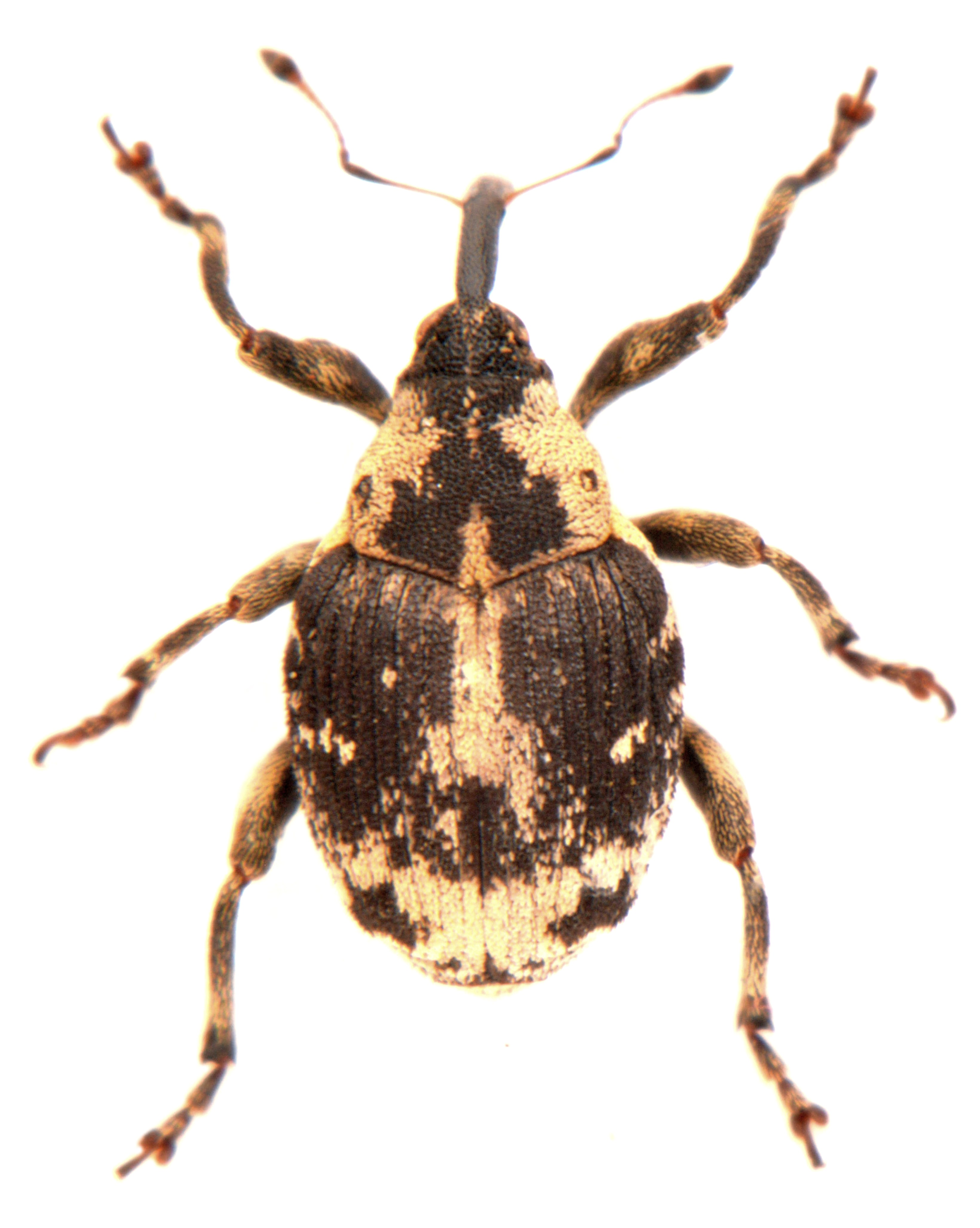 Hadroplontus litura 1