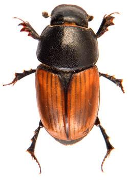 Colobopterus erraticus 1