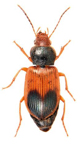Diachromus germanus 1