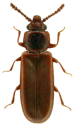 Pediacus dermestoides