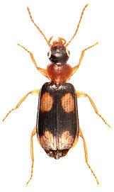 Dromius quadrimaculatus 1.jpg