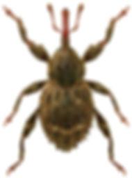 Trachodes hispidus.jpg