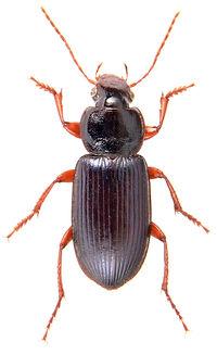 Ophonus ardosiacus 1.jpg