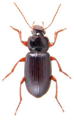 Ophonus ardosiacus