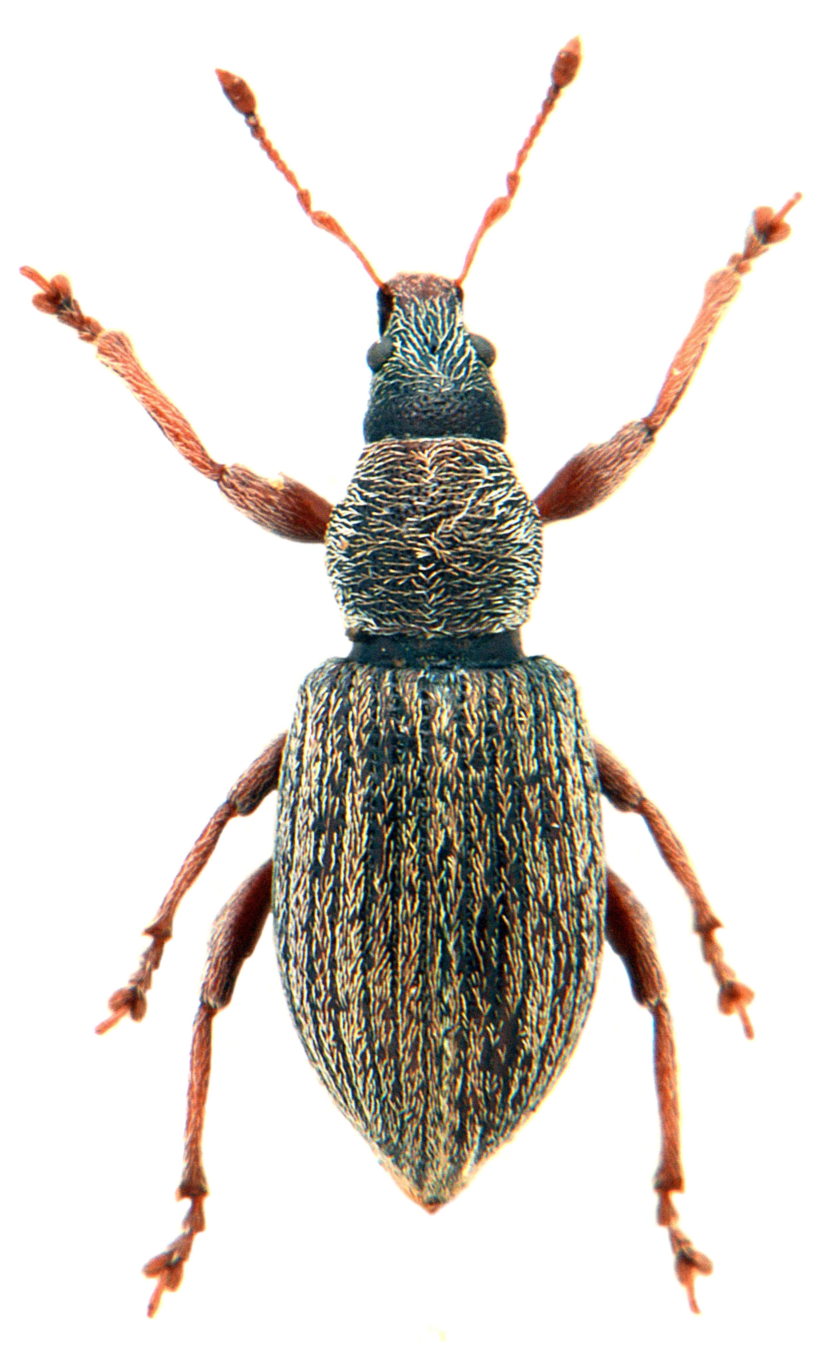 Polydrusus marginatus 1