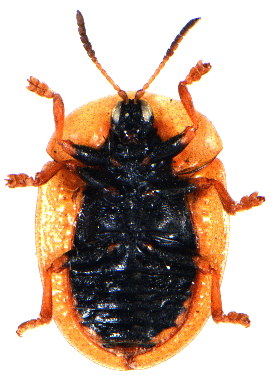 Cassida vibex 2