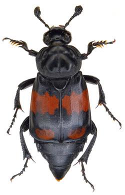 Nicrophorus vespilloides 2