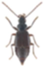 Geodromicus nigrita.jpg