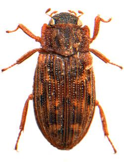 Helophorus nubilus 1