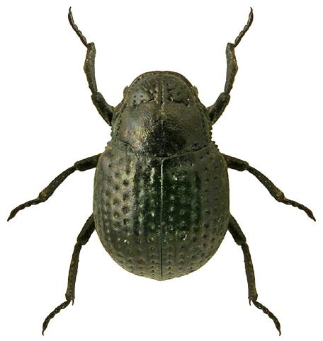 Georissus crenulatus