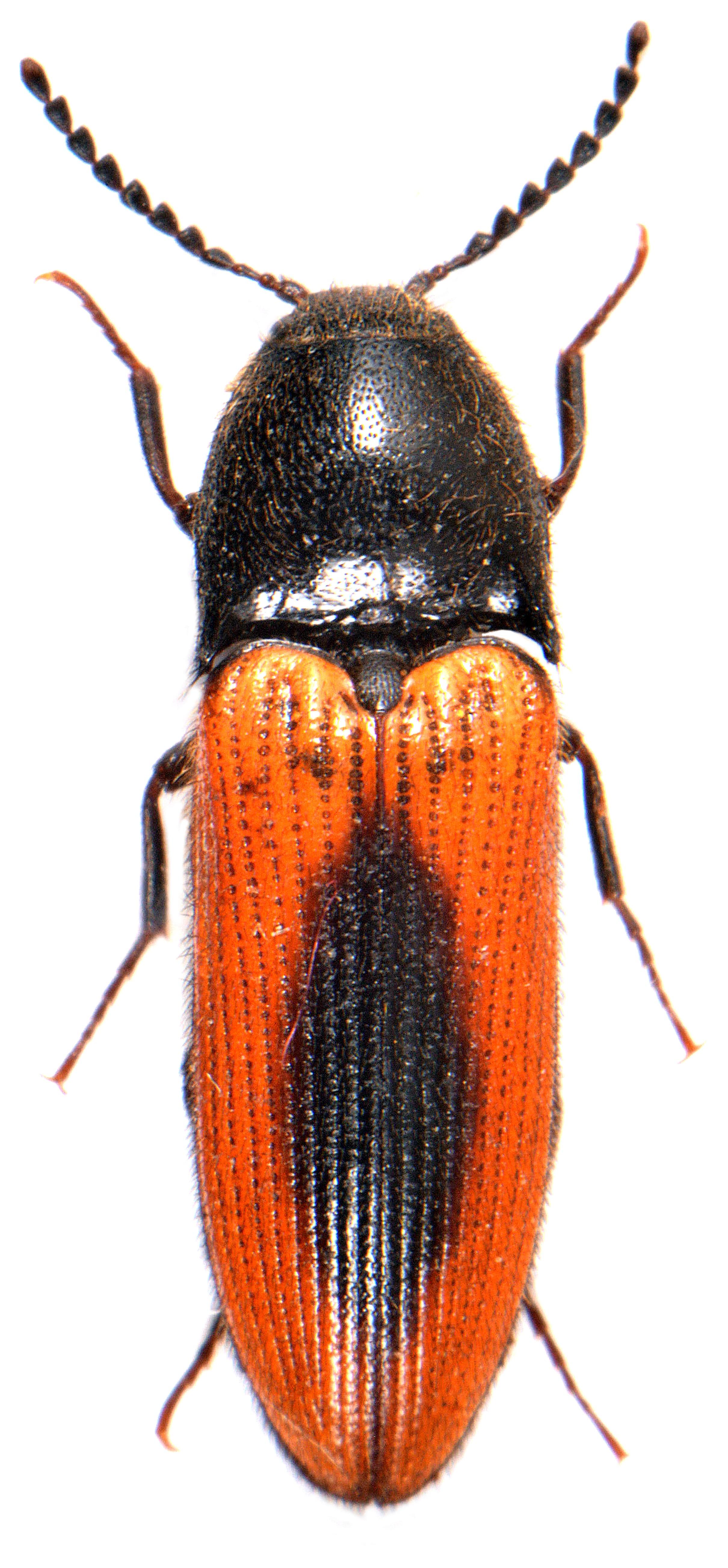 Ampedus sanuinolentus 2