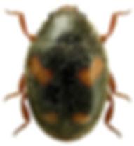 Nephus quadrimaculatus.jpg