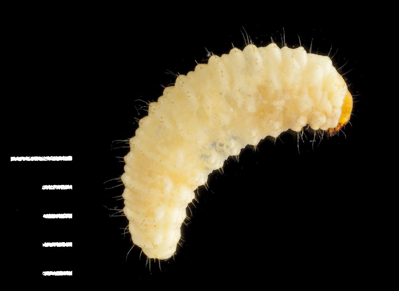 Otiorhynchus sulcatus larva