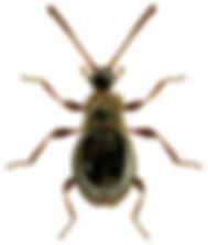 Euconnus hirticollis.jpg