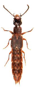 Cafius xantholoma 1.jpg