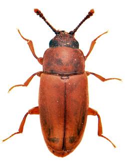 Antherophagus similis 1