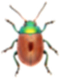 Chrysolina polita 1.jpg