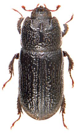 Sinodendron cylindricum ♀