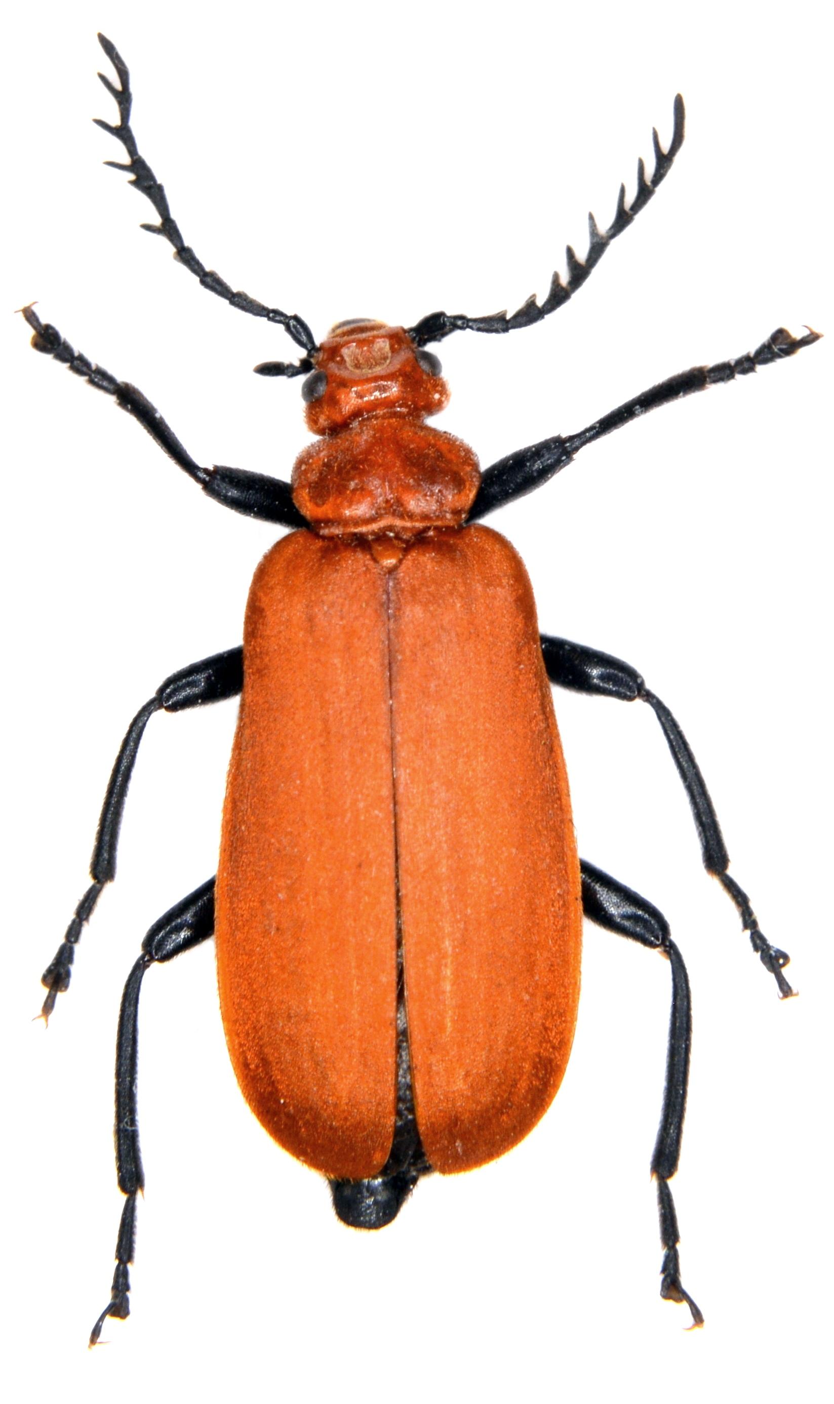 Pyrochroa serraticornis 1
