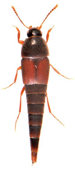 Sepedophilus marshami