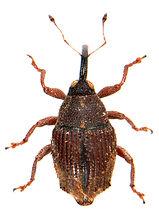 Trichosirocalus troglodytes 3.jpg