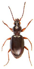 Sinechostictus stomoides.jpg