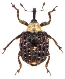 Cionus scrophulariae