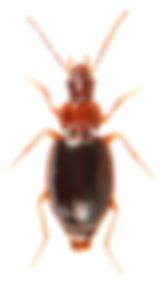 Ocys harpaloides.jpg