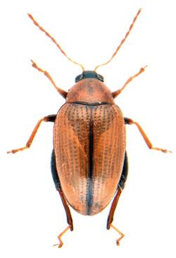 Psylliodes affinis 1