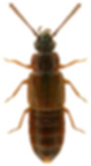 Omalium caesum 1LB.jpg
