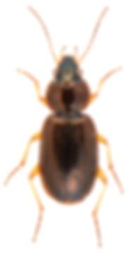 Olisthopus rotundatus.jpg