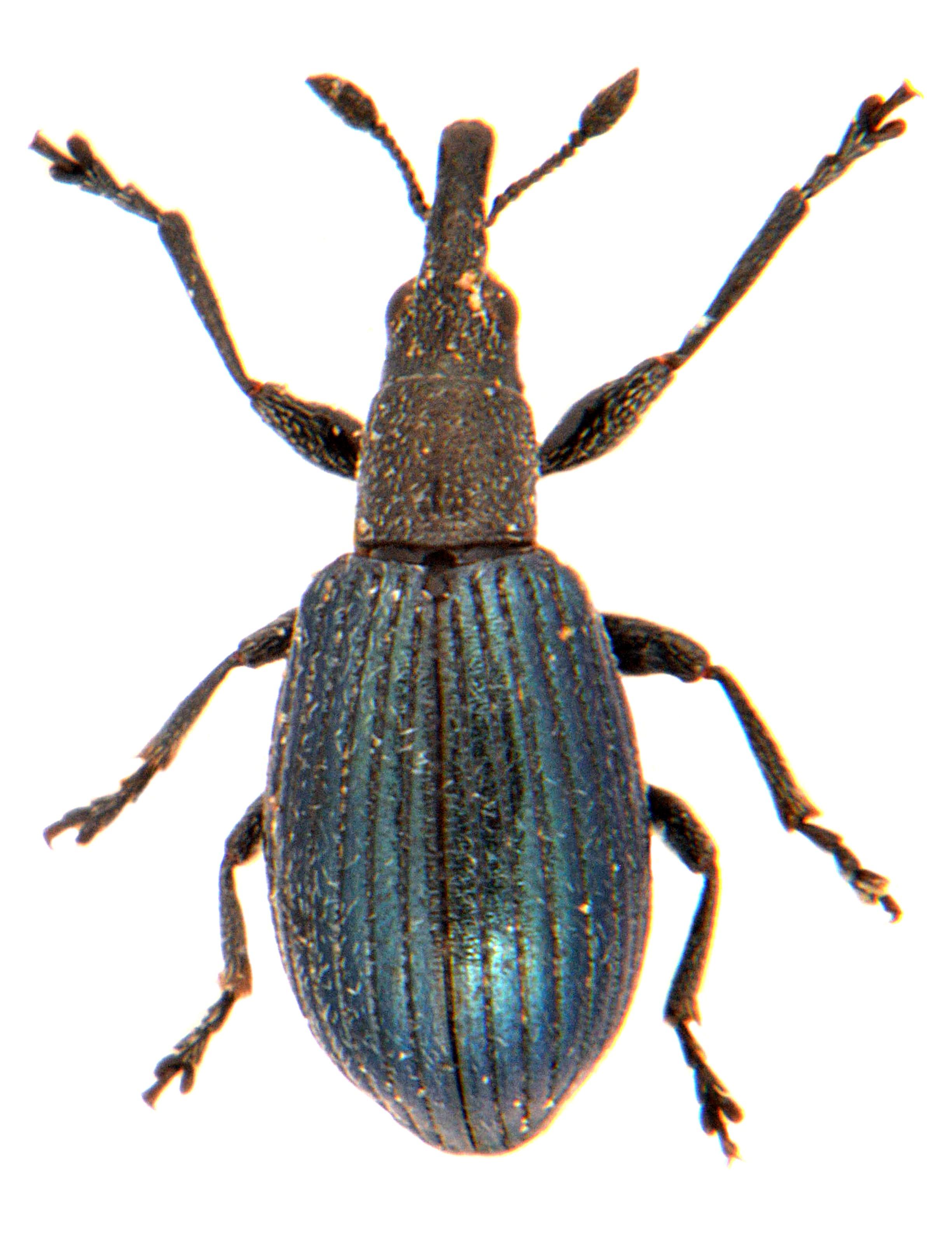 Perapion violaceum 2